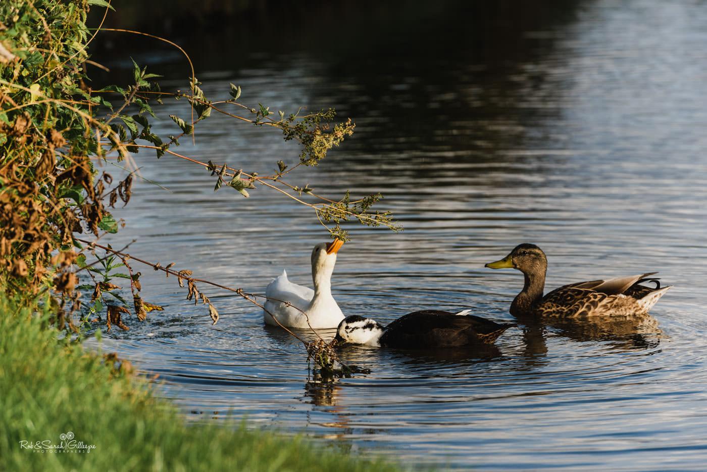 Ducks on pond at Delbury Hall
